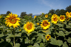 Sunflowers Ferney-Voltaire France 10735