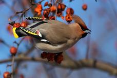 Bohemian Waxwing Tampere Arboretum Finland 6810