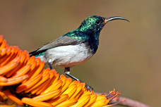 White-Bellied Sunbird Kruger National Park South Africa 7428