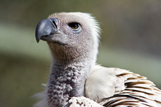 African White-Backed Vulture Kruger National Park South Africa 7487