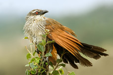 White Browed Coucal Arusha National Park Tanzania 7720