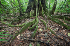 Tree Roots Chalalan Rainforest Bolivia 9987