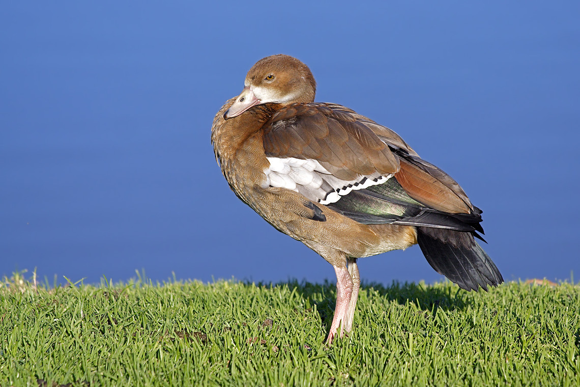 Egyptian Goose Cape Winelands South Africa 7365